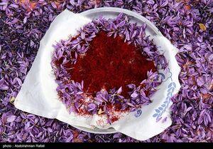 صادرات فلهای زعفران؛ بیماری ۱۰۰ ساله