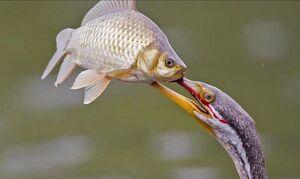 تصویری از شکار ماهی توسط مار گردن