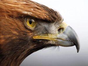 فیلم/ برنده جدال عقاب طلایی و بز کوهی