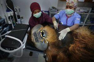 عکس/ عملیات نجات اورانگوتان