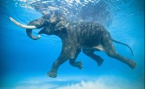 عکس/ شنای فیل خوشحال