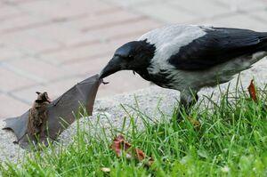 عکس/ درگیری خفاش و کلاغ