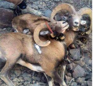 آیا سازمان بازرسی ترمز شکارفروشی را میکشد؟