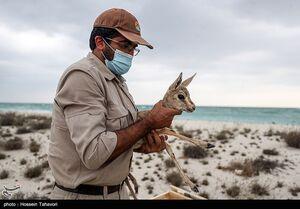 عکس/ رها سازی آهوی ایرانی در کیش