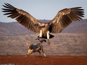 تصویری خیره کننده از شکار ناموفق کرکس