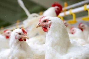 عرضه مرغ ۳۲هزار تومانی گرانفروشی است