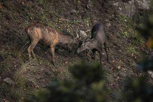 عکس/ گوزن قرمز در ارتفاعات کیاسر