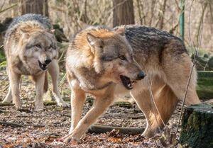 حضور گرگها در سقز؛ مردم مراقب باشند