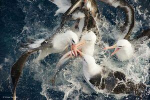 عکس/ جنگ پرندهها برای تصاحب شکار