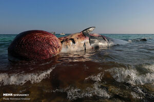 نامعلومی علت مرگ دومین نهنگ یافتشده در کیش