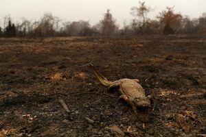 عکس/ فریاد تمساح سوخته در آتش