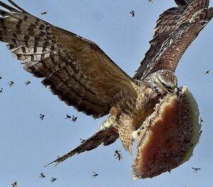 نبرد هوایی دزد عسل با زنبورها