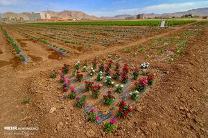 سطح زیر کشت گیاهان دارویی به سه هزار هکتار می رسد