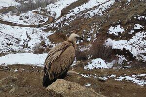 بازگشت کرکس دال  به طبیعت توسط محیطبانان خلخالی+عکس
