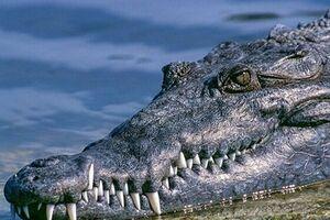 آخرین وضعیت جست و جو برای یافتن تمساح پایتخت نشین/تمساح در هوای سرد دوام می آورد؟ - کراپشده