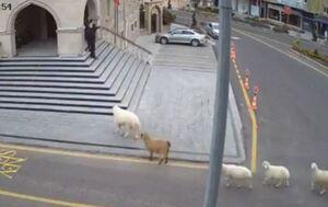 فیلم/ حمله گوسفندها به ساختمان شهرداری در ترکیه