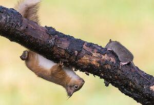 عکس/ مرگ دردناک موش پس از ورود به قلمرو سنجاب