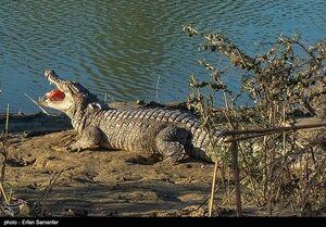 «تمساح» واهی تهران یا «گاندوی» واقعی بلوچستان +فیلم
