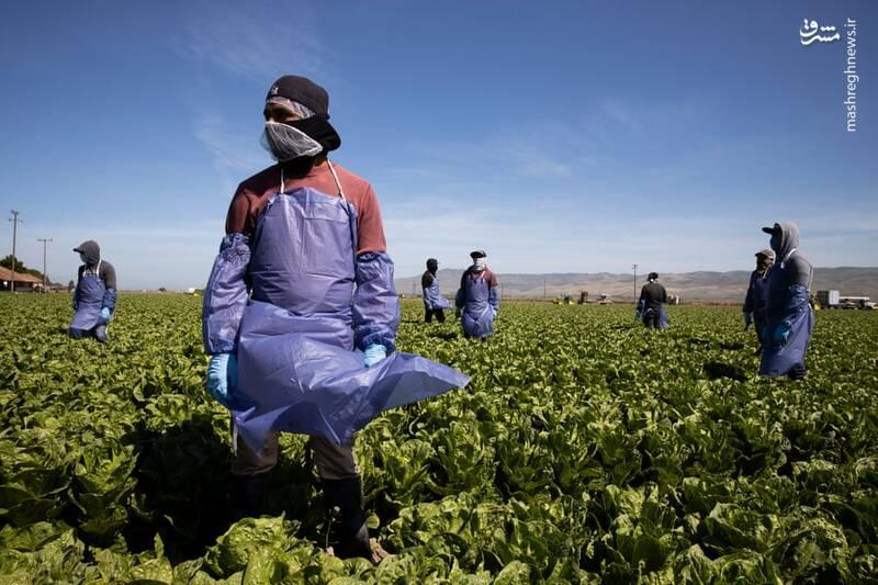 فعالیت کشاورزان با محدودیت های اعمال شده ضد کرونا
