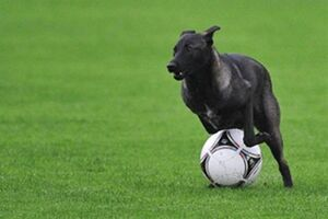 فیلم/ سگی که مسابقه فوتبال را به هم زد!