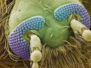 تصویر ثبت شده از سر یک پشه با میکروسکوپ