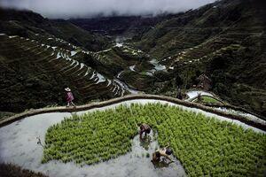 ممنوعیت کشت برنج در کشور شرطی شد