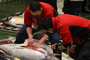 عکس/ حراج سالانه ماهی تن