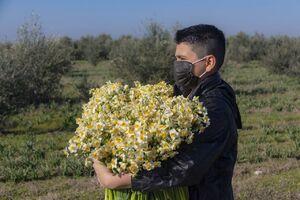 عکس/ برداشت گل نرگس در گلستان