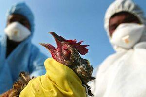 آنفلوآنزای فوق حاد پرندگان به واحدهای صنعتی رسید