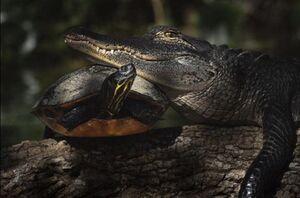 عکس/ دوستی عجیب لاک پشت و تمساح