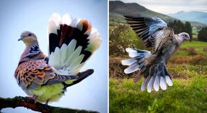 عکس/ زیباترین کبوتر جهان
