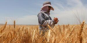 ارز ترجیحی حذف شود قیمت خرید گندم بیشتر میشود