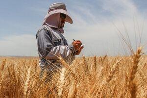 کشاورزان در تعیین قیمت گندم مشارکت میکنند - کراپشده
