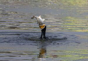 عکس/ شکار دیدنی پرنده ماهی خوار