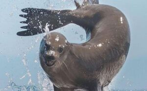 عکس/ حرکات نمایشی شیر دریایی