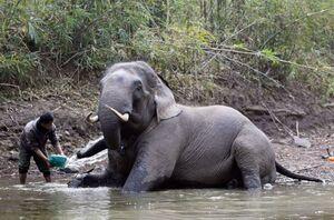 عکس/ آب تنی فیلها