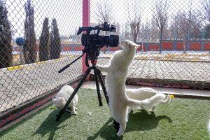 عکس/ کنجکاوی گربههای سفید