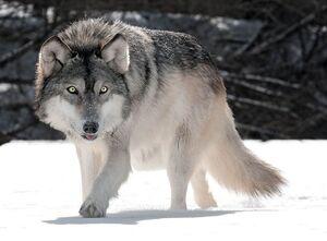 فیلم/ شکار سگ نگهبان توسط گرگ گرسنه!