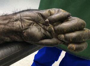 عکس/ دست یک شامپانزه از نمایی نزدیک