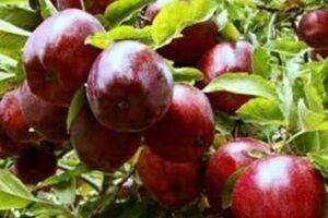 «قطب سیب ایران» چشمانتظار رفع موانع صادراتی/ صورتِ زرد سیب سرخ! - کراپشده