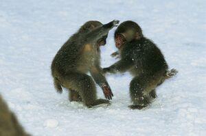عکس/ بازیگوشی بچه میمونها در برف