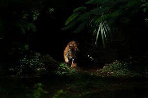 عکس/ شکوه ببر در تاریکی جنگل
