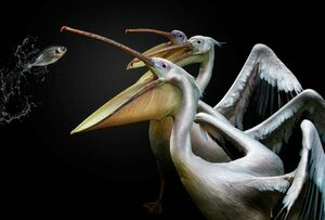 عکس/ شکار ماهی توسط پلیکان