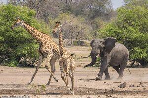 عکس/ حمله فیل به گله زرافهها