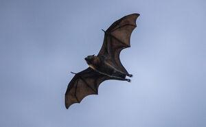 پرواز خفاش در آسمان سیدنی