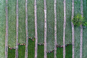 تصویر هوایی از برداشت بابونه