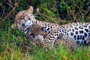 عکس/ مهر مادری پلنگ
