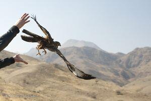 عکس/ رهاسازی پرندگان شکاری در سد خجیر