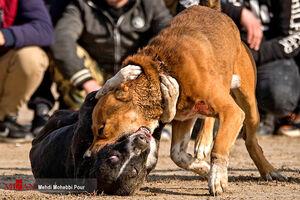 دستگیری برگزارکنندگان مسابقه «جنگ سگها» +فیلم