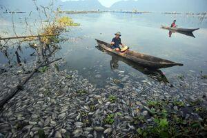 تلف شدن ماهی ها در دریاچه ای در سوماترا اندونزی